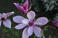Small Magnolia, Spring 2011