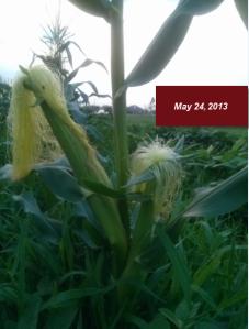 May 24, 2013 corn