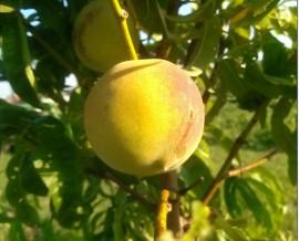 Peaches, June 13, 2013