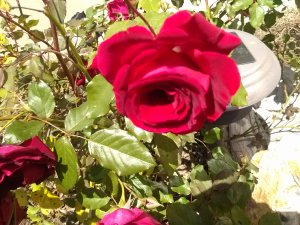 Valentine Rose--May2013