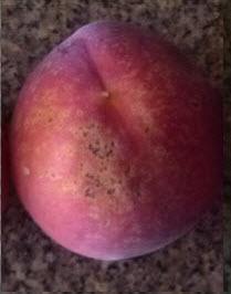 Bacterial Spots on Peach