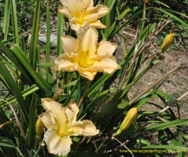 The Fading Love, peach colored daylily is shown with spent scapes and two new buds