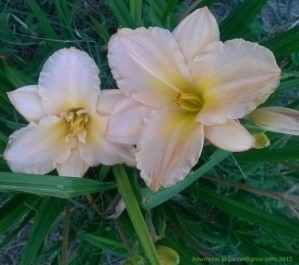 Pale peach-colored daylily with strong ruffles along edges of petals sepals