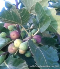 Cluster of figs shows stages from small green, to larger yellow, and finally purple ripe color.