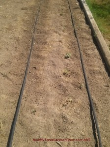 Row of green beans start to sprout.