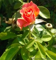 Picture of orange colored, newly opened bloom of Livin' Easy rose