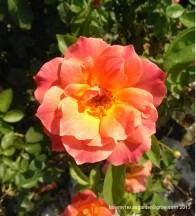 Fully opened blossom of Livin' Easy rose.