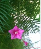 The pink blooms of the Star of Texas (Cypress) vine are abundant in summer.
