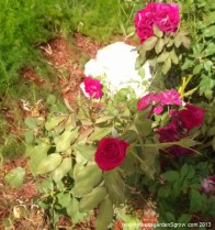 The Valentine rose continues to bloom despite the heat!