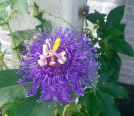 Purple Passion Vine Flower Picture