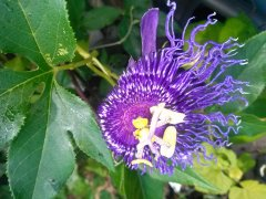 Passion Vine Flower, missing most of the purple tendrils