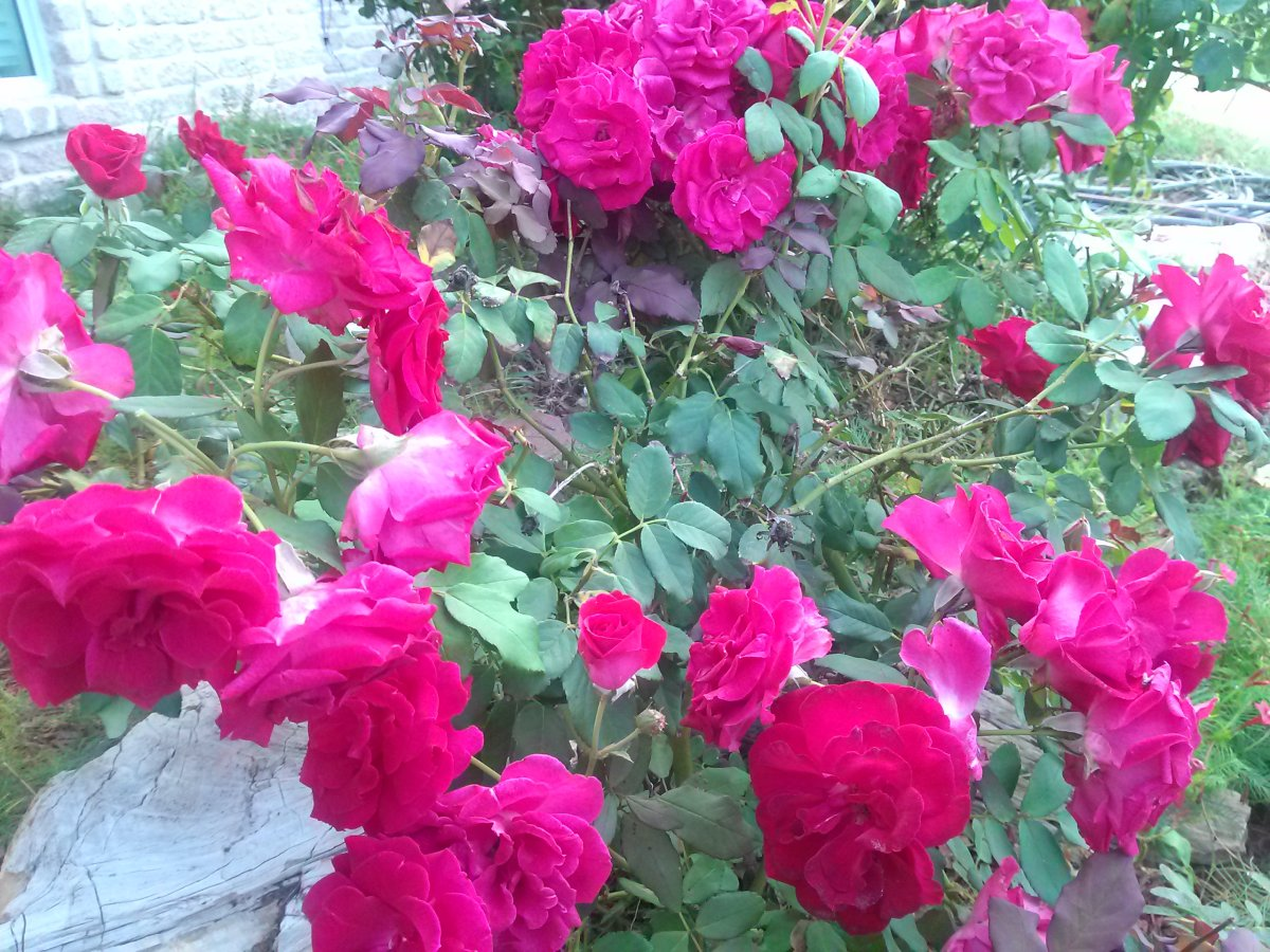 Entire Valentine Rose