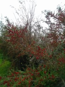 red berries on Yaupon Hollies and bare elm tree