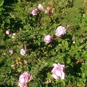 Belinda's Dream Rose Bush