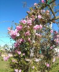Little Pinkie Rose in Bloom