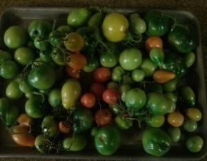 tomatoes-Nov 26-2013