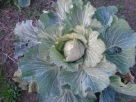 Cabbage Plant, Top View