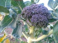Broccoli head on Plant