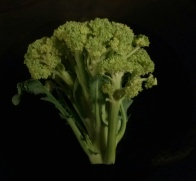 Normal appearing broccoli head with buds