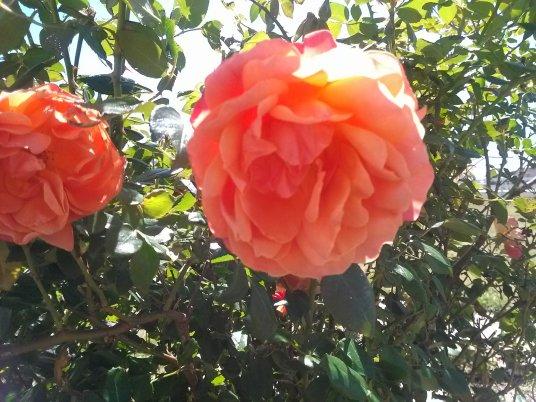 'Livin' Easy' Rose