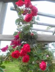 Orange Triumph rose picture