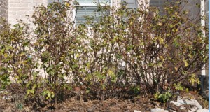Before Rose Pruning