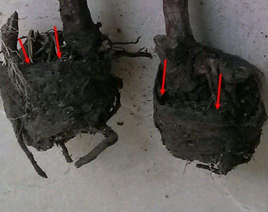 Pot-Bound Blackberry Roots