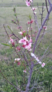 Diamond Princess Peach Tree Blossoms
