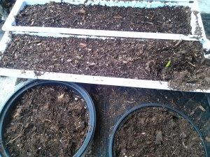 gladiola plants emerging