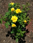 Nacogdoches Yellow Rose, April 22, 2014