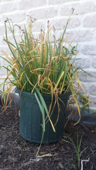 Daffodils Naturalizing