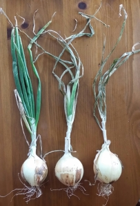 Stages of Dry Onions