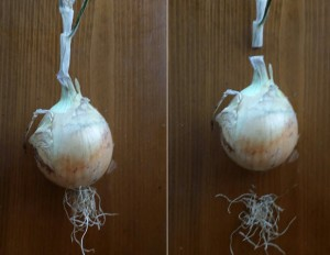 Picture--Remove Onion Top and Roots