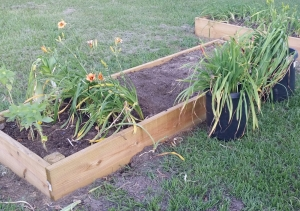 Daylily Bed, Final Stages