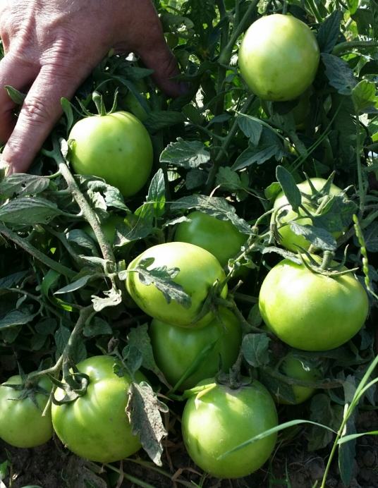 444 Tomato Variety, picture of green fruit