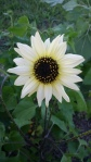 "Picture of a bloom for ""vanilla ice"" sunflower"