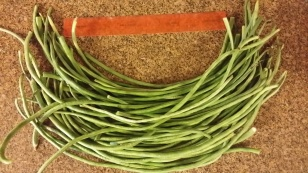 Yard-Long Beans, June 2014; shows green beans about a foot long