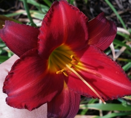 Maroon to red colored daylily pictured.