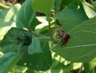 "Picture of a Red Spotted Weevil on Sunflower, May 2014; the red body, black spots, and distinct elongated ""snout"" are shown."