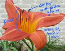 Shows the anthers with pollen and the pistol of the daylily flower