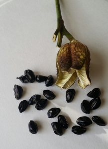 Seed Pod and Seeds