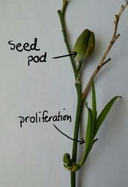 Daylily Proliferation shown on scape below seed pod.