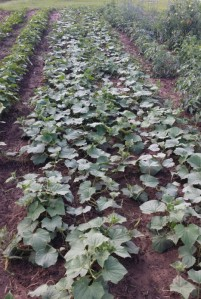 "Cucumber Plants shown  in the garden  are ""Market More"", May 29, 2014"