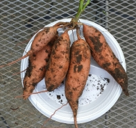 Sweet Potatoe Tubers shown, Sept. 2014