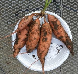 Sweet Potatoe Tubers shown, Sept. 2014