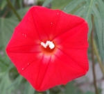 Pentagon-Shaped Cardinal Climber Flower, Sept. 2014