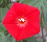 Pentagon-Shaped Cardinal Climber Flower, Sept. 2014