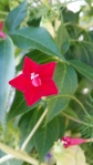 Flowers of the Red Cypress Vine, Sept. 2014