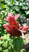 Shrimp Plant blooming, Sept. 2014