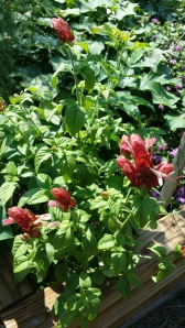 Blooms and foliage on the Shrimp Plant, Sept. 2014
